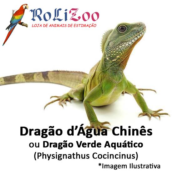 Dragão d'Água Chinês<br>(<em>Physignathus Cocincinus</em>)