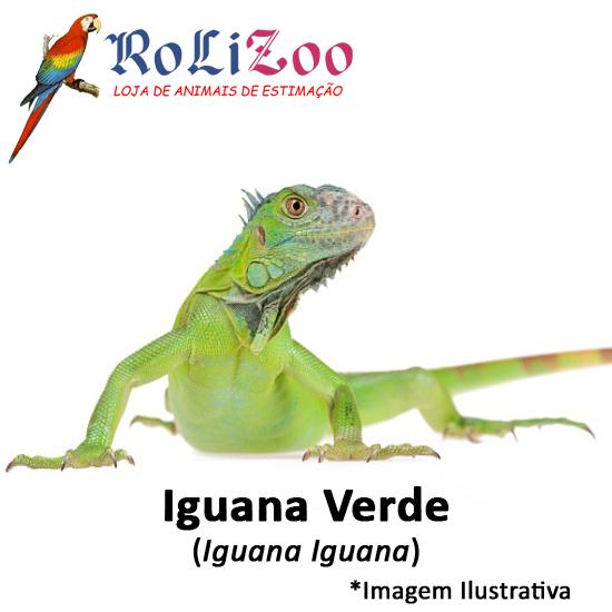Iguana Verde<br>(<em>Iguana Iguana</em>)