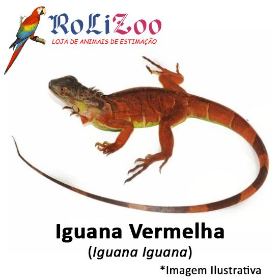 Iguana Vermelha<br>(<em>Iguana Iguana</em>)