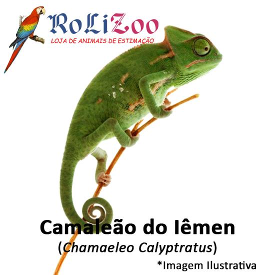 Camaleão do Iêmen<br>(<em>Chamaeleo Calyptratus</em>)