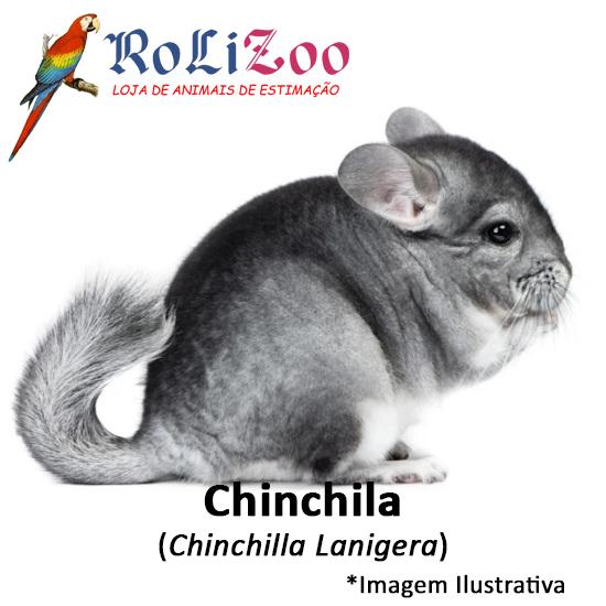 Chinchila<br>(<em>Chinchilla Lanigera</em>)